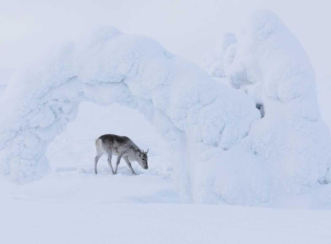 Elniuko Ailo kelionė per Laplandiją (Aïlo: Une odyssée en Laponie)