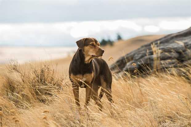 Belos kelionė namo (Dog's Way Home)
